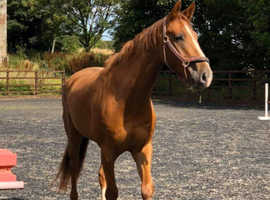 Handsone 5yrs 16,3hh warmblood gelding