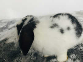 Mini lop baby rabbits 9 week old
