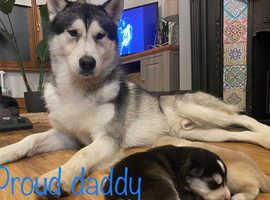 Alaskan Malamute Pups for Sale