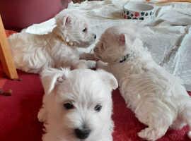 Gorgeous litter of Westie Pups