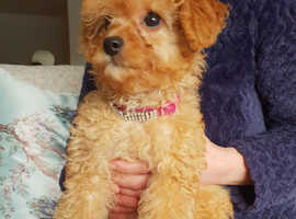Wanted toy poodle for stud