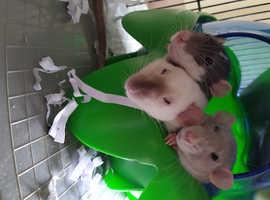 Tamed baby rats