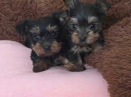 Pure   Yorkshire terrier