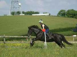 Beautiful mini black beauty. Welsh sec D mare
