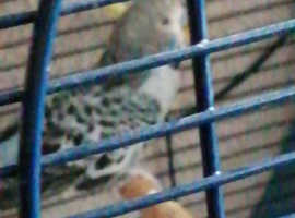 2 male budgies for sale