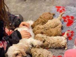 Stunning F1 Maltipoo Puppies