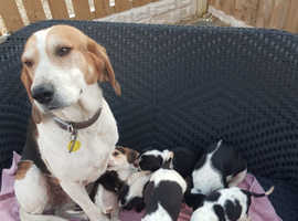 Beautiful tri colour beagle puppies