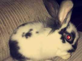 Half lionhead half mini lop rabbit