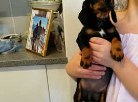 Dachshund puppies for sale