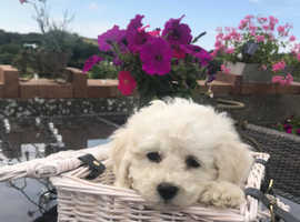 Happy, healthy Pure Bichon Frise Puppies