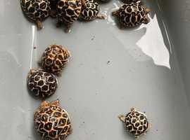 Baby Indian Star Tortoises
