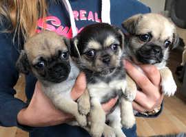 Adorable pug x shih tzu puppies