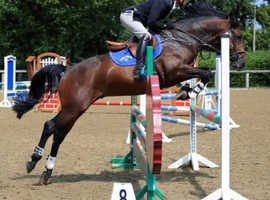 Showjumping stallion at stud not for sale.