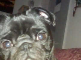 female pug 20 month old