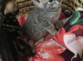 Blue Spotted & Brown Marble Pedigree Female Kittens