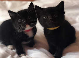 LAST TWO KITTENS LEFT