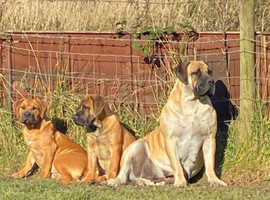 Boerboel puppies for sale