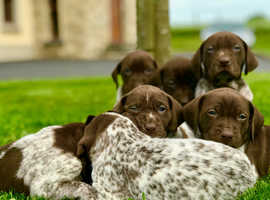 PRE COVID PRICED - GERMAN SHORTHAIRED POINTER PUPS