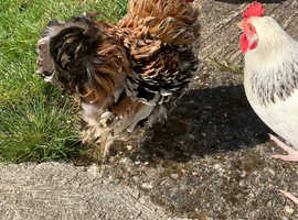 Pekin Bantam Frizzle Cockerel