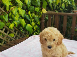 Maltipoo are a great addition to any family