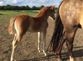 Stunning chestnut colt foal