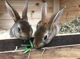 Mini Rex baby rabbit for sale