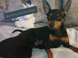 KC Miniature Pinscher 2 boys