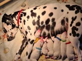 8 stunning dalmatian puppies