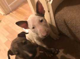 English bull terrier puppies for sale £1500