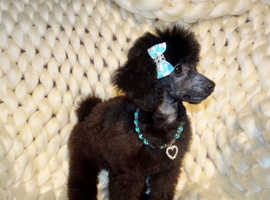 KC Registered Blue / Silver 5 1/2 Months Old Tiny Toy Poodle Boy Puppy