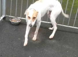 Free wheaten deerhound greyhound