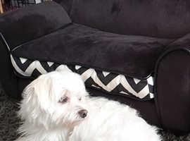 Morkie Maltese Yorkie 18 months old male