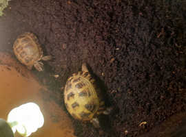 2 tortoises with full set up