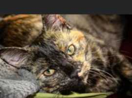 Missing Tortioseshell cat