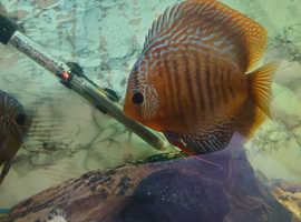 """Discus Fish x3, about 4"""" in size"""