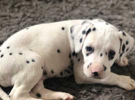Last Gorgeous Dalmatian girl to go