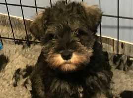Miniature Schnauzer Puppies - Ready Now 07947 676150