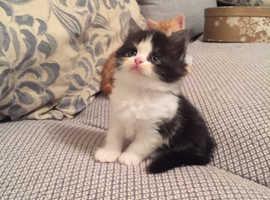 Exotic Shorthair X  Persian Kittens