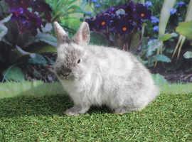 Beautiful Baby Netherland Dwarf Rabbits
