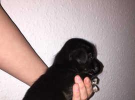 Malti-Poo Puppys