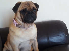 apricot pug kc registered