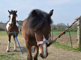 Bonnie sweet 11 month bay filly, to make 13.2hh