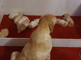 Bookings taken now on gorgeous chunky labrador pups