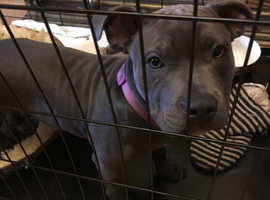 Adorable blue staffy girl fourteen months very laid back illness, needs me to find her a good home