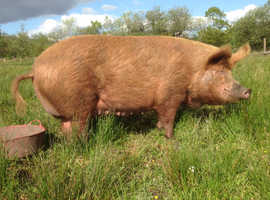 Pedigree Tamworth boar and sow breeding pigs