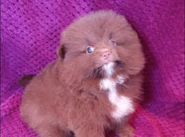 chocolate teddy bear Pomeranians