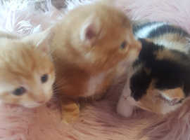 Very fluffy cute kittens for sale