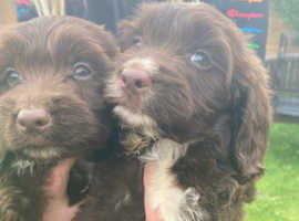 Stunning chocolate sproodle puppys