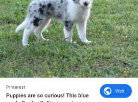Puppy wanted. Border collie!
