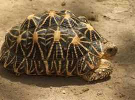 Adult Star Tortoises WANTED